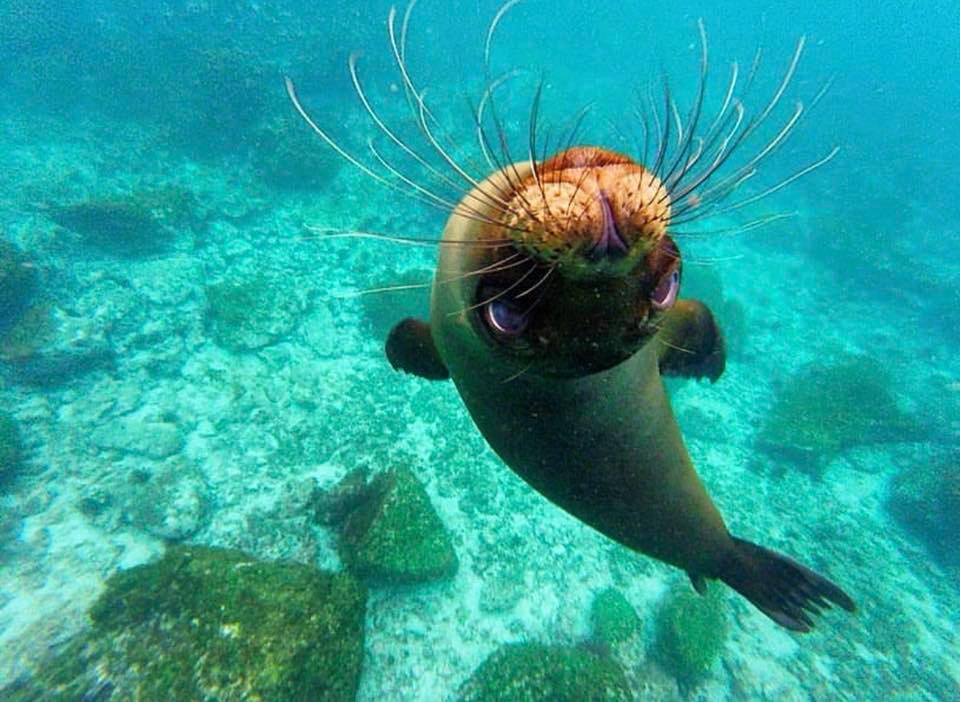 Leone Marino delle Isole Galapagos