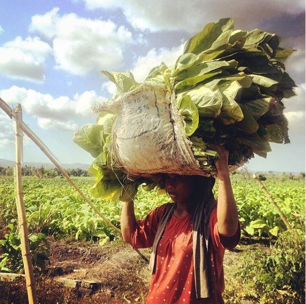 Isola di Lombok, campi di tabacco