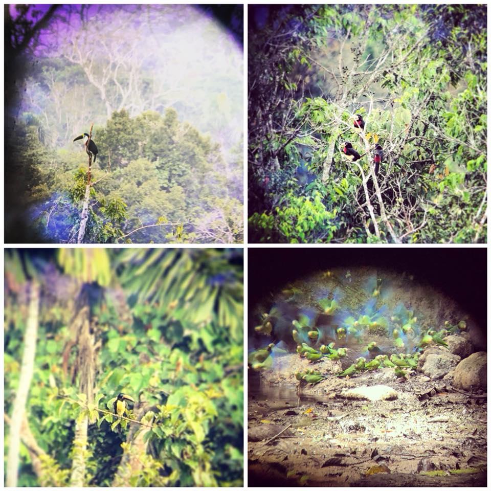Birdwatching, foresta amazzonica
