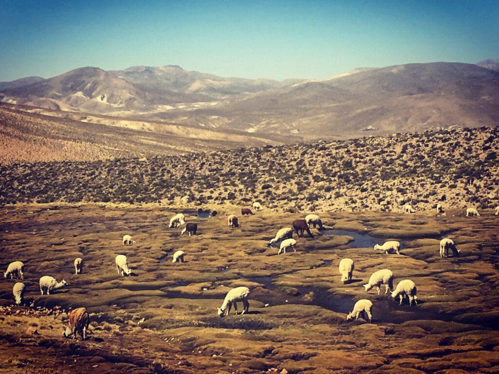Vigogne nella cordigliera delle Ande