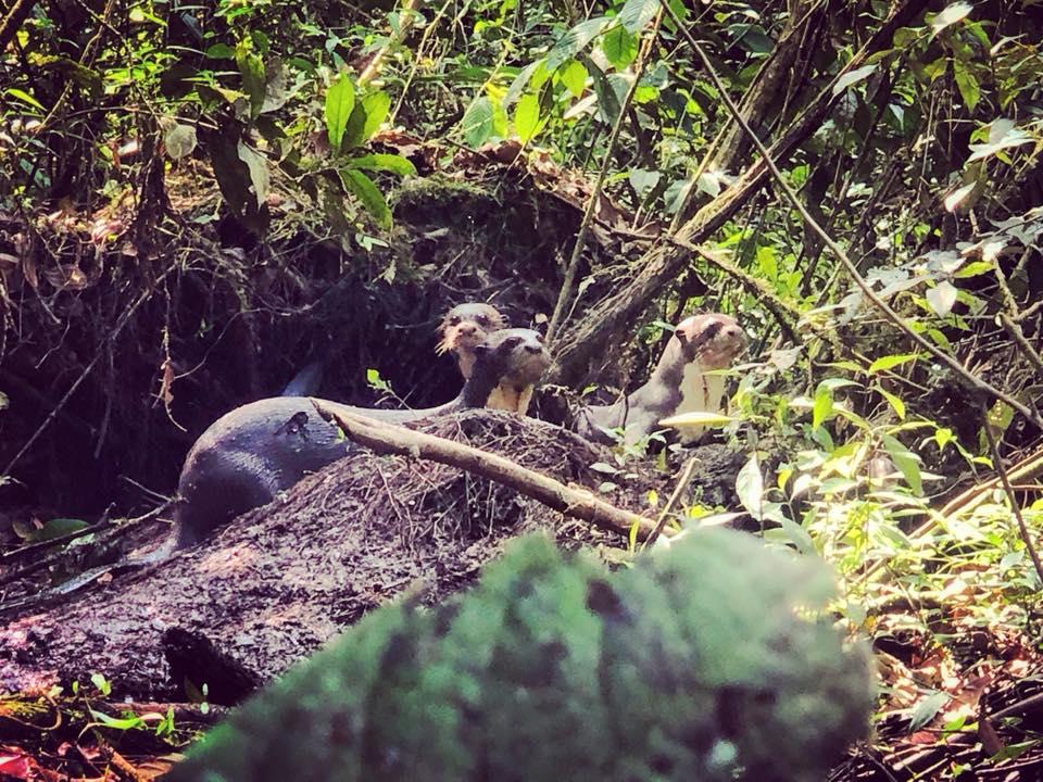 Lontre, foresta amazzonica