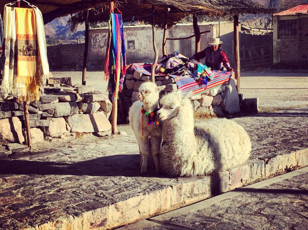 Alpaca addomesticata nel villaggio di Maca