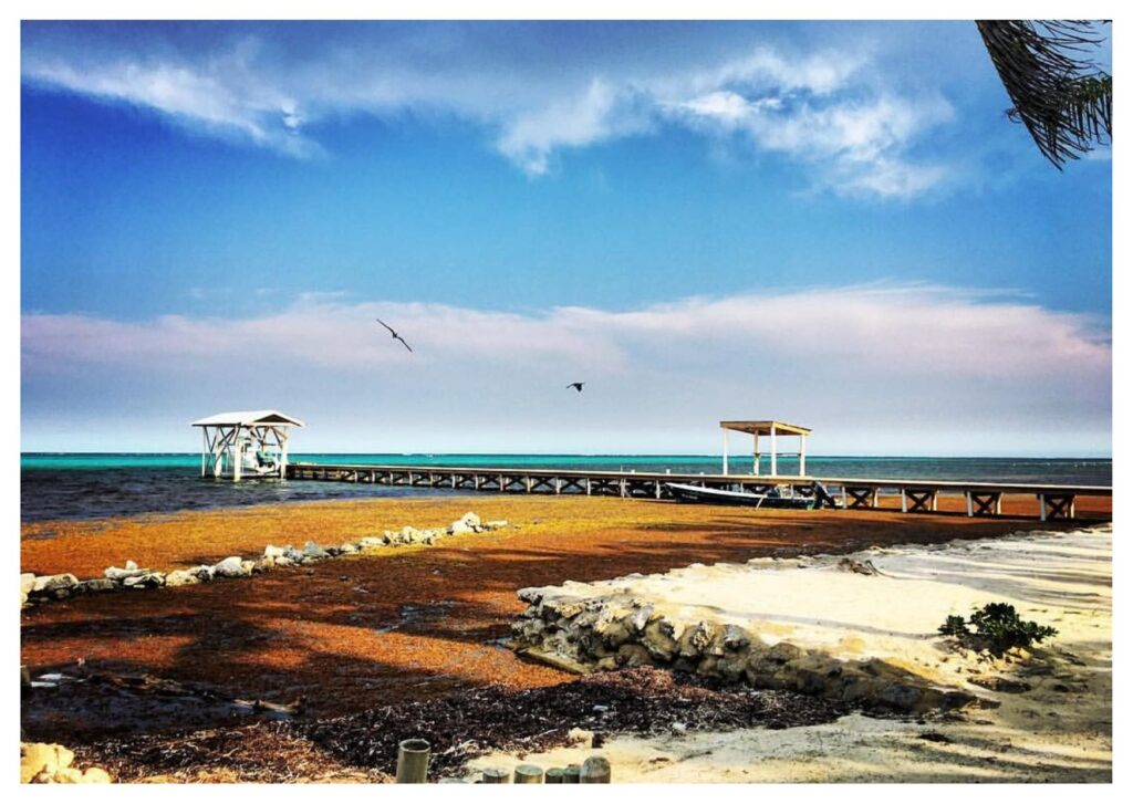 Le alghe sargasso di Ambergris Caye