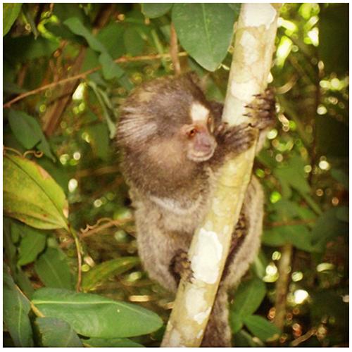 Una scimmia di Ilha Grande